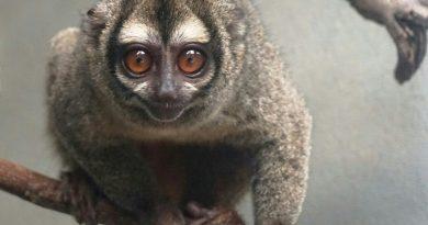 Mono nocturno, nueva especie en el Zoológico de Barranquilla